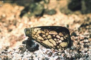 หอยเต้าปูนลายหินอ่อน